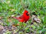red cardinal in our yard
