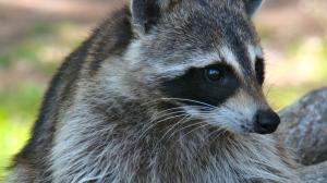 lido key raccoon