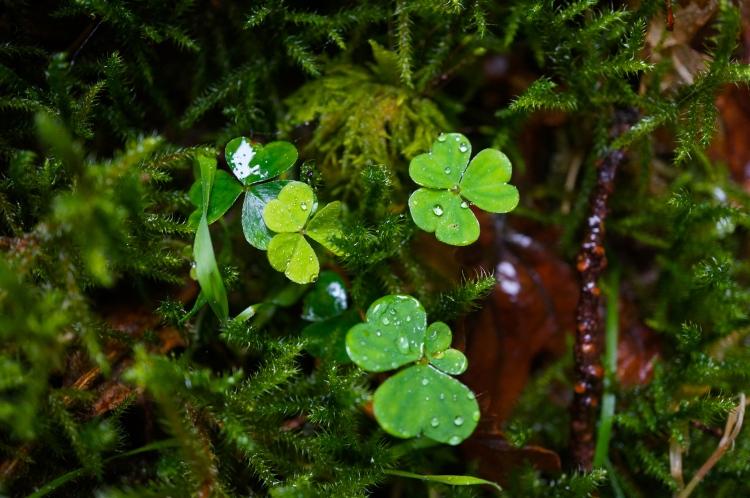 Glendalough clover