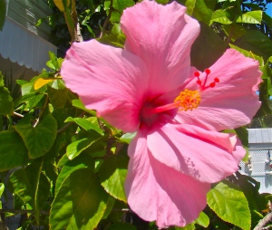 Key West hibiscus