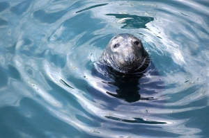 Seal - Howth harbor
