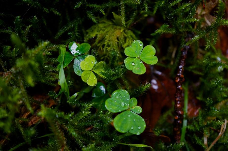 clover with rain