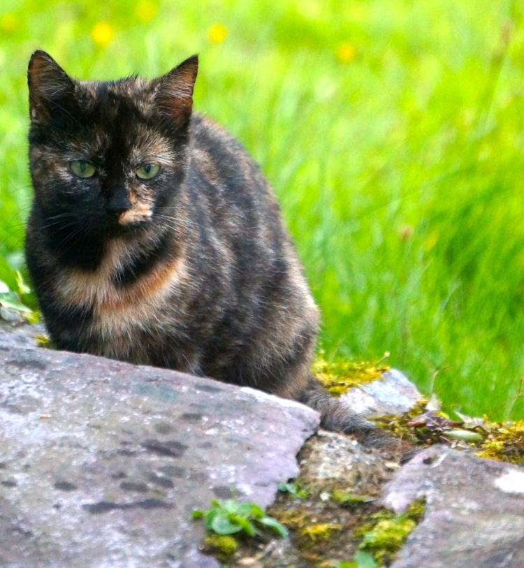 cat who visit us daily in Kells