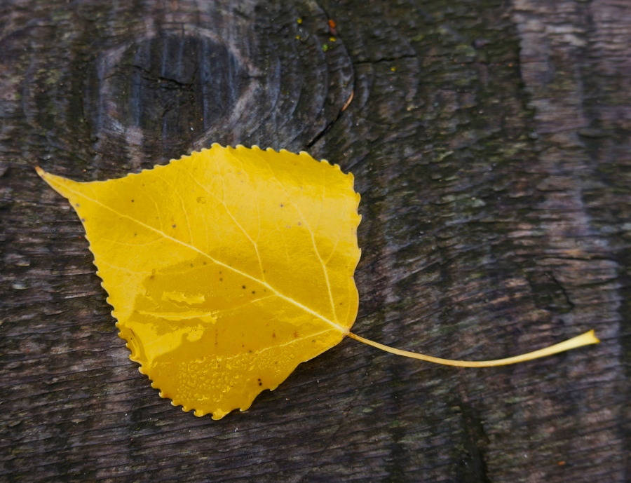 yellow leaf of fall - 2012 - Duluth