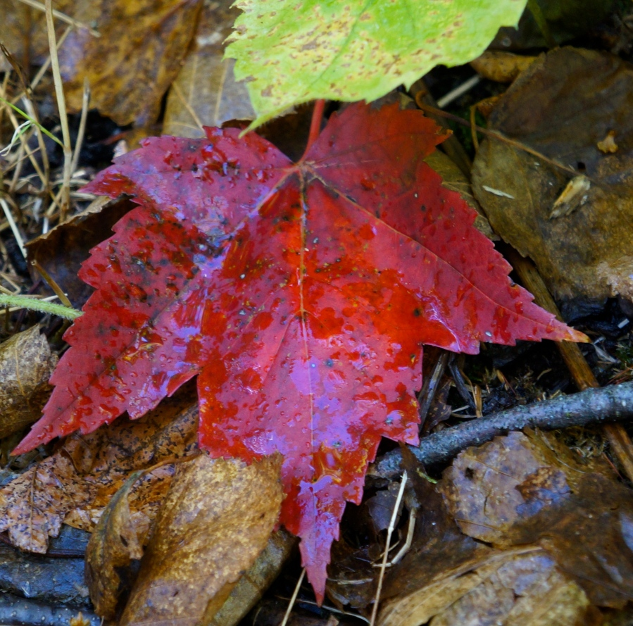 red leaf of fall - 2012 - Duluth