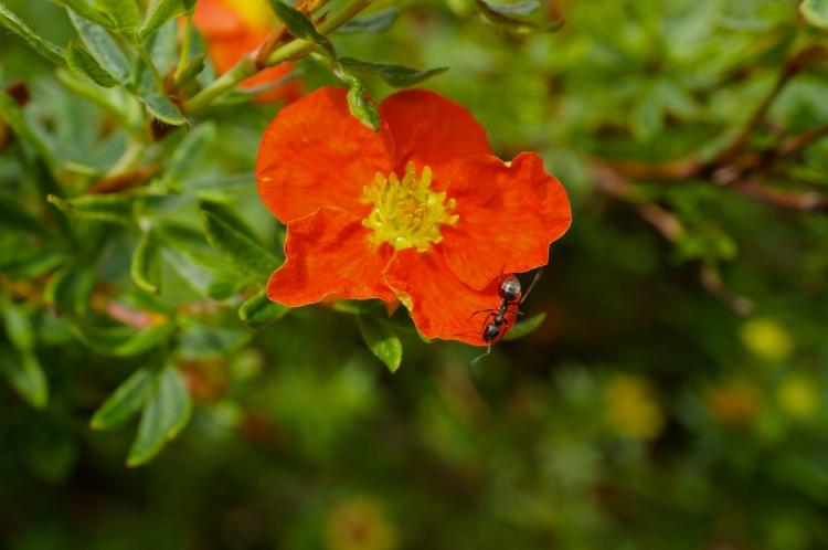orange flower with ant