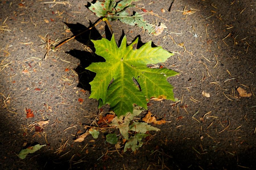 October Oregon leaf