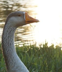 one big honkin' goose