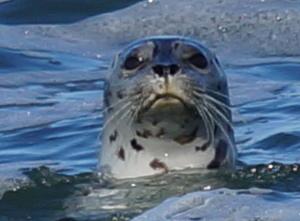 seal - yachats