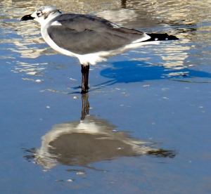 siesta key seagull with the reflection of buildings in the watery sand along with the gull's shadow