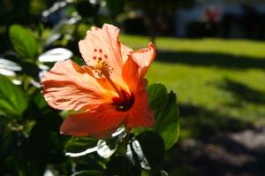 hibiscus at St. Andrew