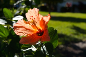 hibiscus at St. Andrew