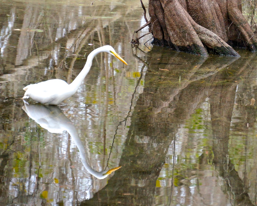 Egret looking, Big Cypress National Preserve, the Everglades