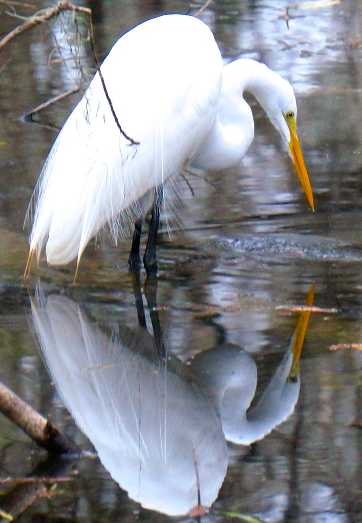 Egret, a closer view