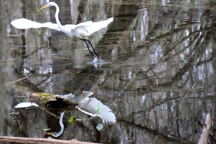 egret, taking flight