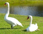 Two beautiful swans near the Publix protest on December 16, 2012, Longboat Key