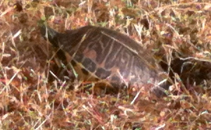 twin lakes turtle