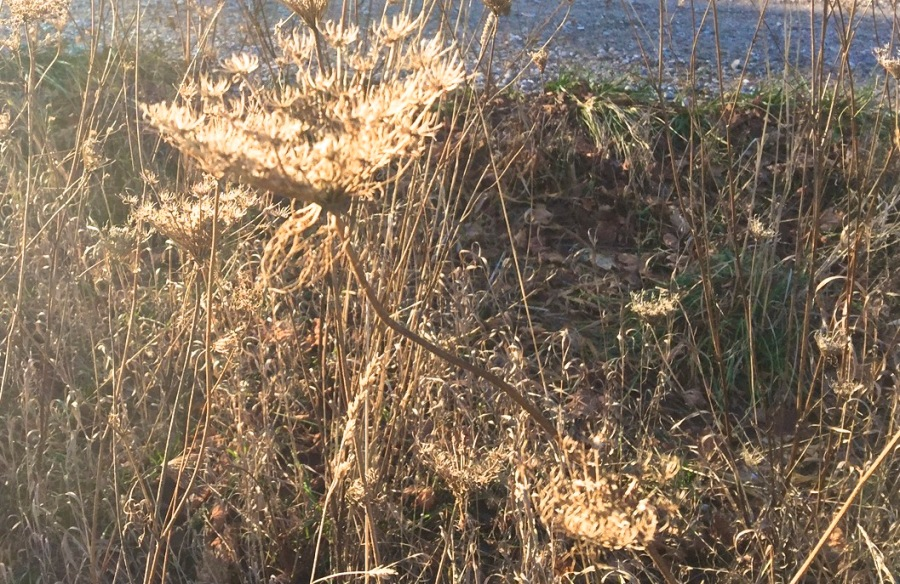 Shimmering died flowers by the roadside at the 45th parallel - November 28, 2015.jpg
