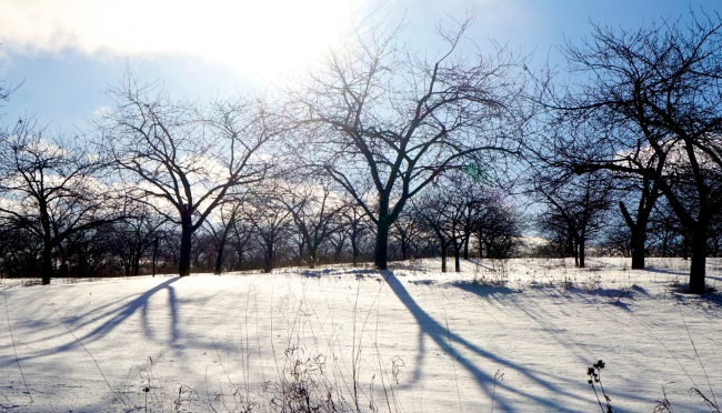 light, shadows, snow - cherry orchard south of Northport -January 4, 2016